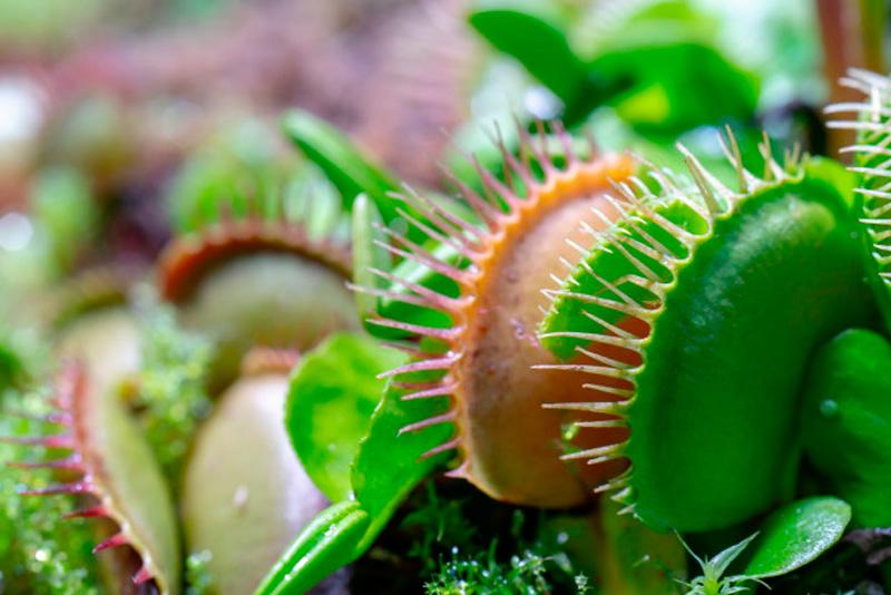 Cómo se cuidan las plantas carnívoras