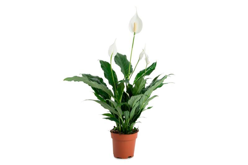 Consejos para cultivar spathiphyllum