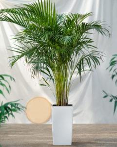 comprar dyspsis lutescens o palmera de bambu al por mayor