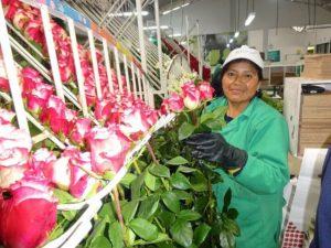 comprar rosas al por mayor